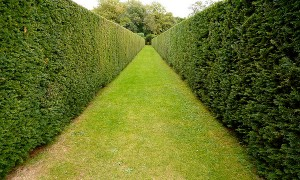 Tall Hedges